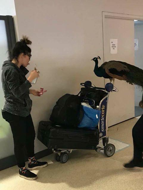 美联航称这只鸟不符合重量与体积方面的规定