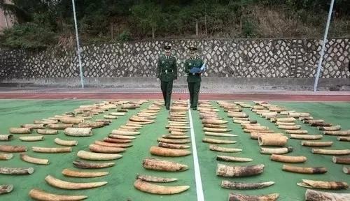 广东公安边防总队珠海边支队   清点查获走私象牙