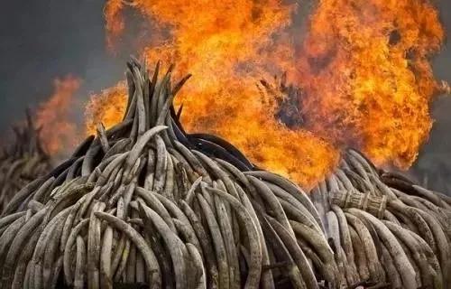非法走私的象牙遭到焚毁