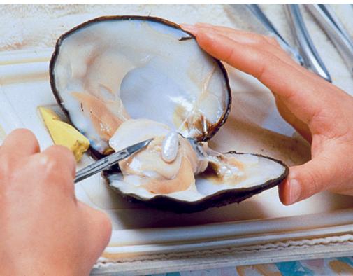 一名技术人员将一颗花式形状养殖珍珠从外观凹凸不平的蚌中取出。 照片由拉藤德烈斯家族友情提供。