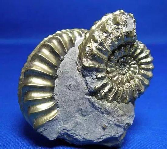 生长成海螺型的黄铁矿
