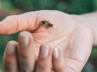 >被蜂蛰伤后该如何处理呢?