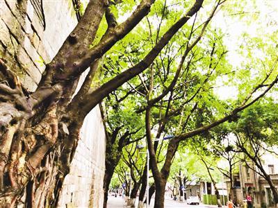 重庆这些地方黄葛树最好看