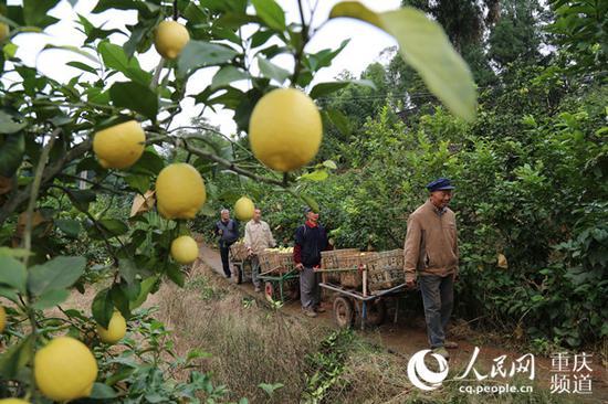 每到采摘季节,农户将在果林里忙活2个多月。资料图
