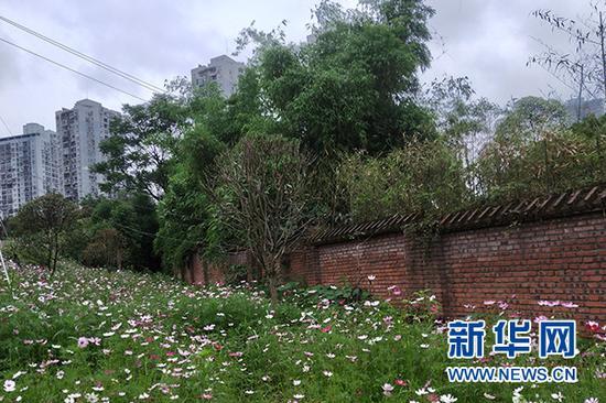 图为5月7日拍摄的重庆市江北区石马河灯盏窝片区一角,坡地上的格桑花正盛开。新华网 李海岚 摄