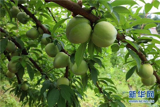 布朗李形状似桃子、口味香甜。新华网发(渝北宣传部供图)