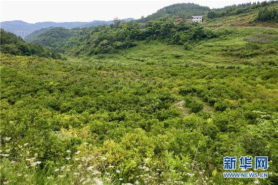 家晟布朗李种植基地种植460亩李子。新华网发(渝北宣传部供图)