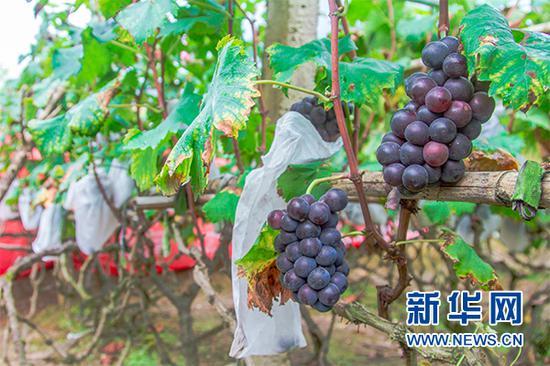 葡萄基地里的一景,给葡萄包上袋子是为了防止病虫害。新华网发 秦蒸 摄