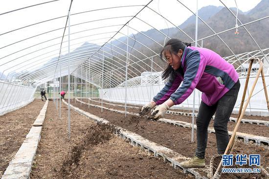 村民往地里撒上一层薄薄的土,为播种川贝母做准备。新华网 李相博 摄