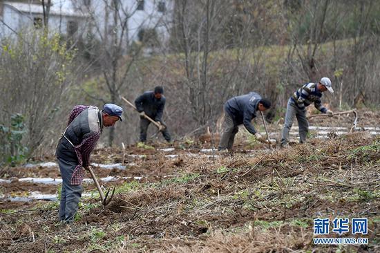 村民们正在挖掘独活。新华网 李相博 摄