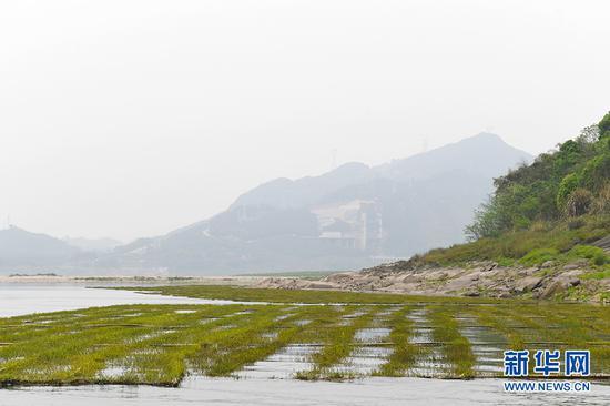 位于重庆市江津区油溪镇鼎锅浩水域的人工鱼巢。新华网 李相博 摄