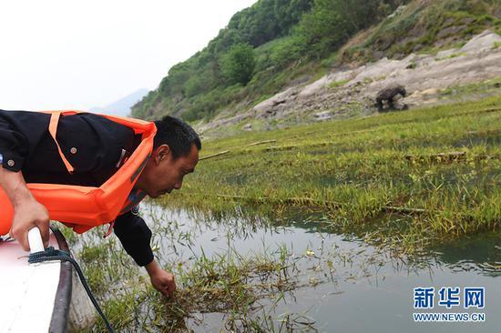 护渔志愿队队员在观察人工鱼巢杂草根系的生长情况。新华网 李相博 摄