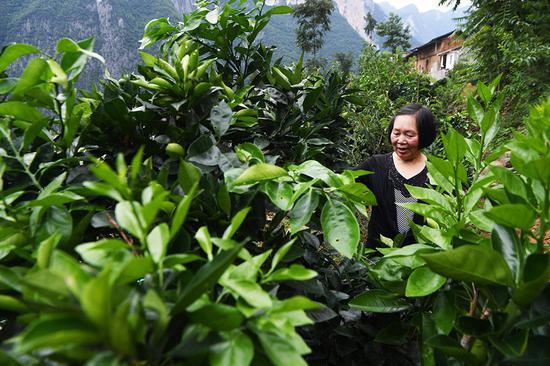 ↑7月3日,63岁的下庄村村民刘崇英在查看柑橘的生长情况。新华社记者 王全超 摄