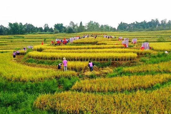 2021皇华仙稻收割季(本组图片来源:邓青春)