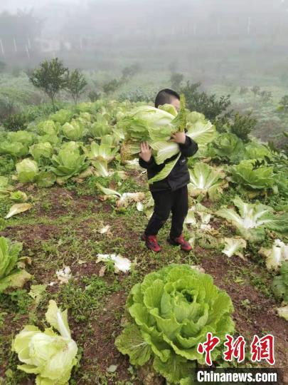 图为徐先恒家人齐动员摘蔬菜。 受访者供图 摄