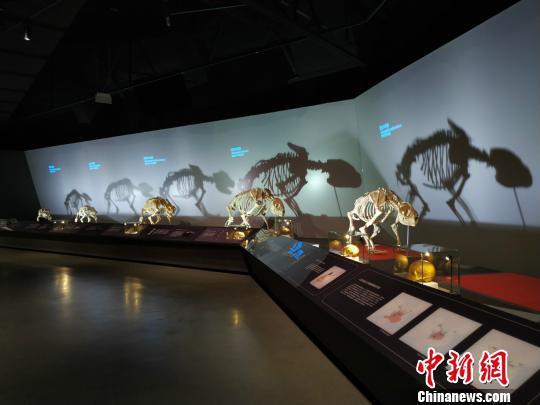 图为本次展览展出的不同时期的熊猫骨架。 秦廷富 摄