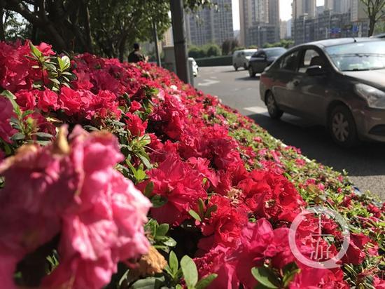 △4月2日,江北区华新街的西洋杜鹃花