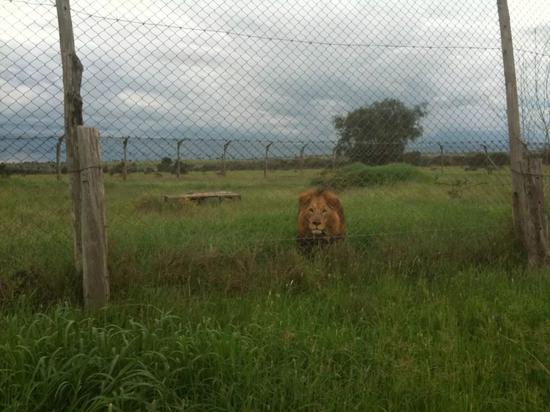 ▲星巴在斯瓦娜平原认识的狮子朋友