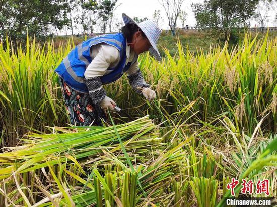 图为正在稻田劳作的辛秀利。 彭国威 摄