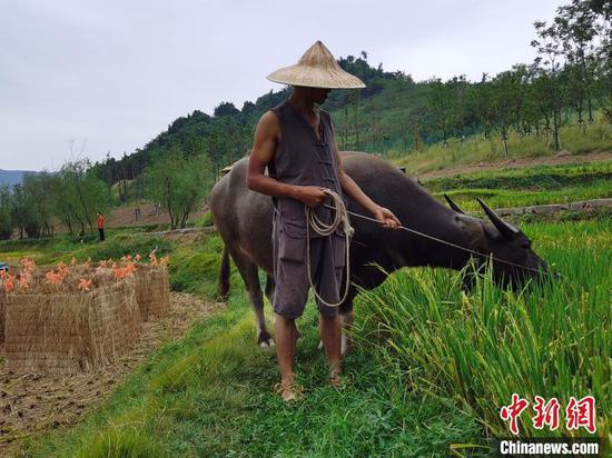 图为正在牧牛的罗书华。 彭国威 摄