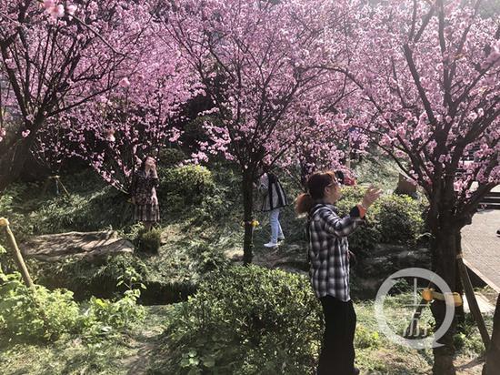 重庆近日各种春花竞相开放