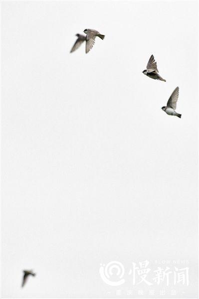 ▲飞翔的崖沙燕飘逸灵动