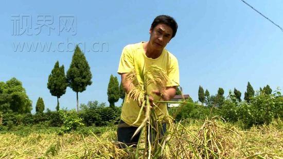 和王年国一样,受大风和高温天气影响,今年合川隆兴镇栽种水稻2.5万余亩,受大风和高温天气影响,预计老百姓减收40%以上。