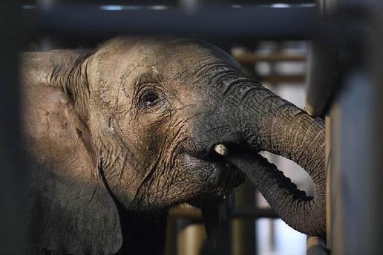 """乐和乐都野生动物园世界总经理王一富介绍,为三只非洲大象""""宝宝""""准备"""