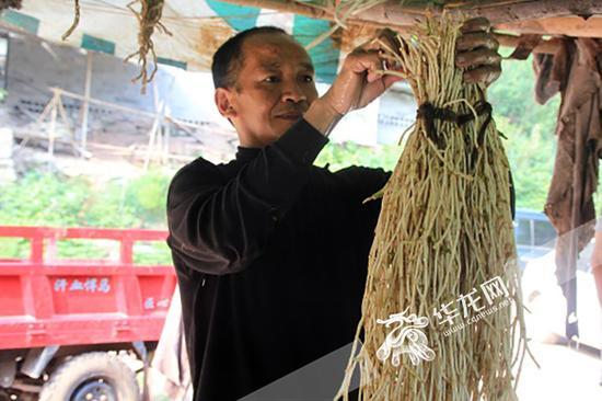 在重庆,很多村民种植鱼腥草。 资料图