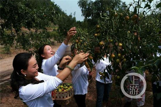 △在峻圆枣林内,大家正在采摘成熟挂满枝头的冬枣。