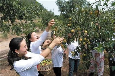 峻圆枣林内,大家正在采摘成熟挂满枝头的冬枣。 见习记者 杨辛玥 摄