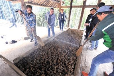 黄连种植户正在用传统方法烤制黄连。 本报记者 甘侠义 摄
