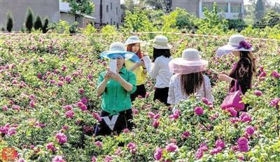 游客采摘食用玫瑰。