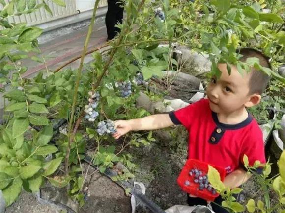 重庆哪儿可以采摘蓝莓吃? 农委这份推介线路请收好