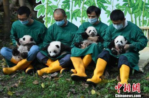 """图为双双、重重、喜喜、庆庆熊猫""""四宝""""亮相。 陈超 摄"""