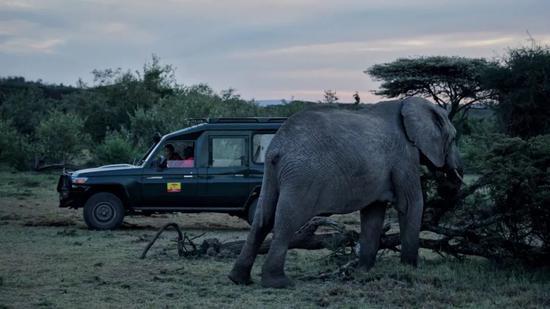 ▲星巴驾车接近大象