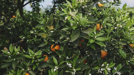 橙子、柠檬、柚子、橘子长在一棵树上?!这样一棵树,你想不想拥有?