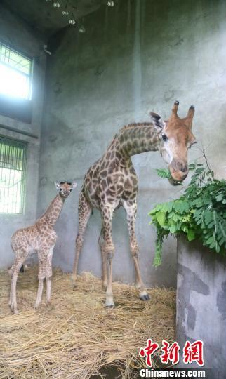 据饲养员介绍,9号长颈鹿产后胃口很好。图为9号长颈鹿在吃树叶。 杨巧 摄