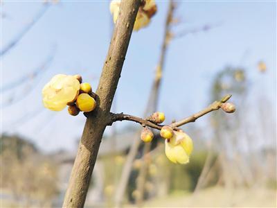 广阳岛上盛开的腊梅花。