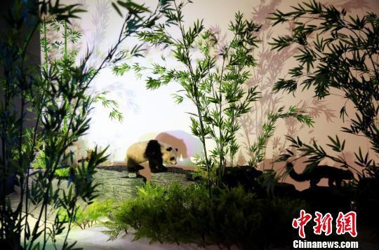 图为本次展览展出的熊猫标本。 秦廷富 摄