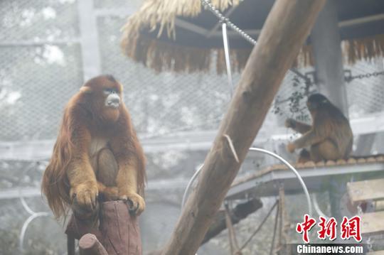 图为重庆动物园的川金丝猴诚诚和玉玉。 韩璐 摄