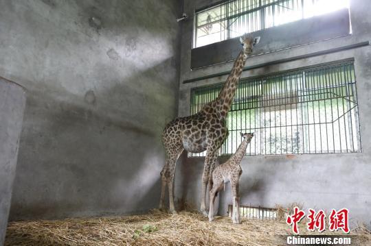 图为9号长颈鹿和它刚出生的鹿宝宝。 王成杰 摄