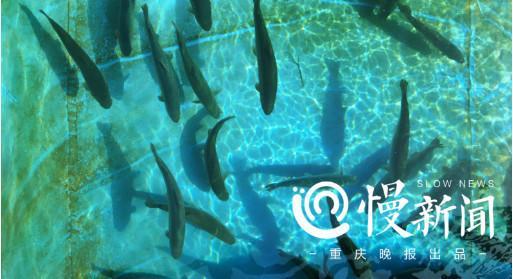△水库观赏鱼池中的三文鱼