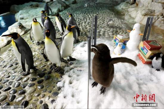 资料图:企鹅。