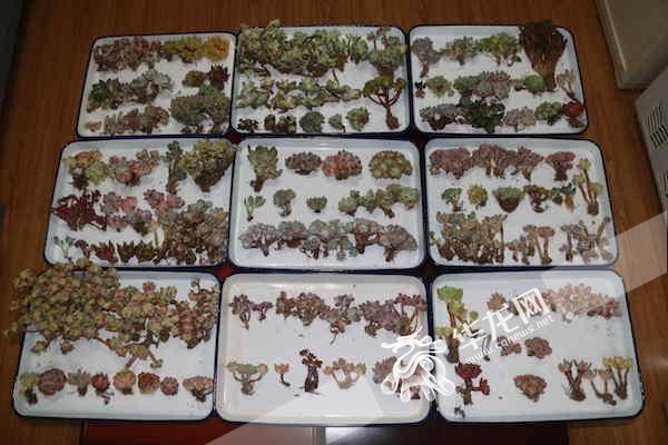 从韩国来的多肉植物。 重庆检验检疫局供图 华龙网发