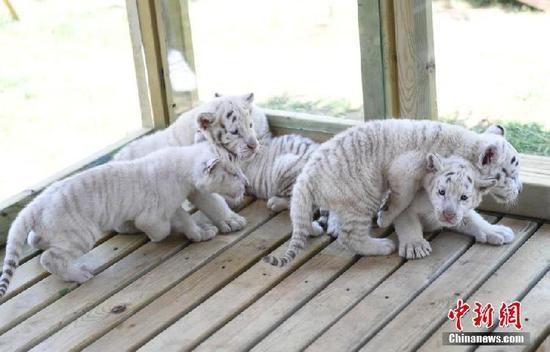 萌翻啦!五胞胎雪虎宝宝大合照进来看一下