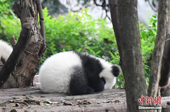 大熊猫冬日卖萌迷倒粉丝