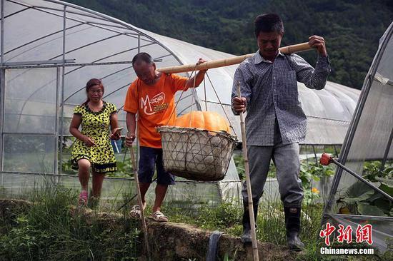 重庆农民收获87公斤重巨型南瓜 需要两个壮汉才能抬走