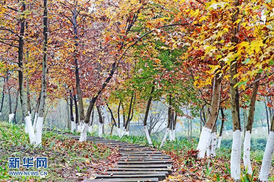 冬日山城独特秋景:枫叶林层林尽染 红黄相映成趣