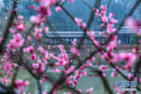 重庆红梅花开迎新春 凌冬绽放俏丽动人[组图]